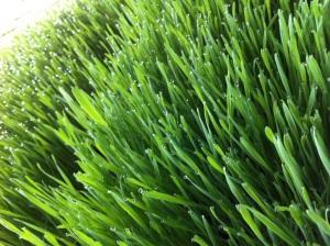 wheatgrass at Quanfa
